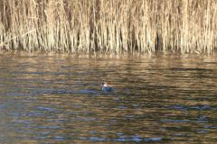 Red-headed Smew